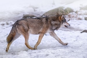 Wolf in Snow