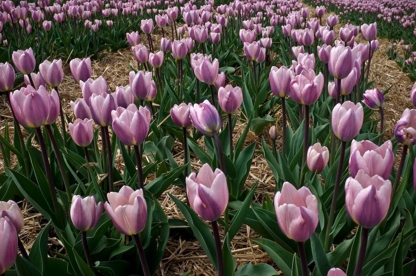 Chrzypsko tulipany (1 z 7)