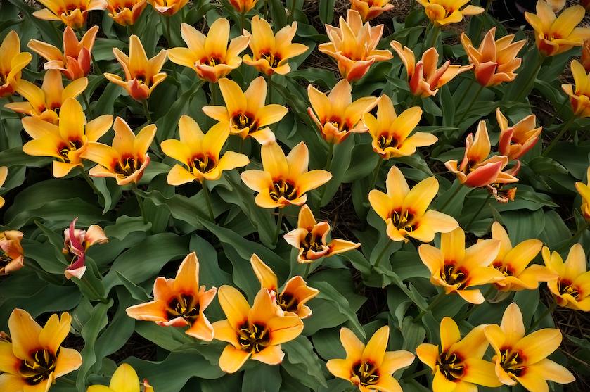 Chrzypsko tulipany (2 z 7)