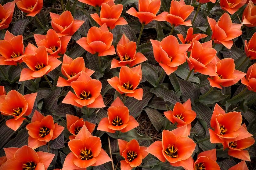 Chrzypsko tulipany (3 z 7)