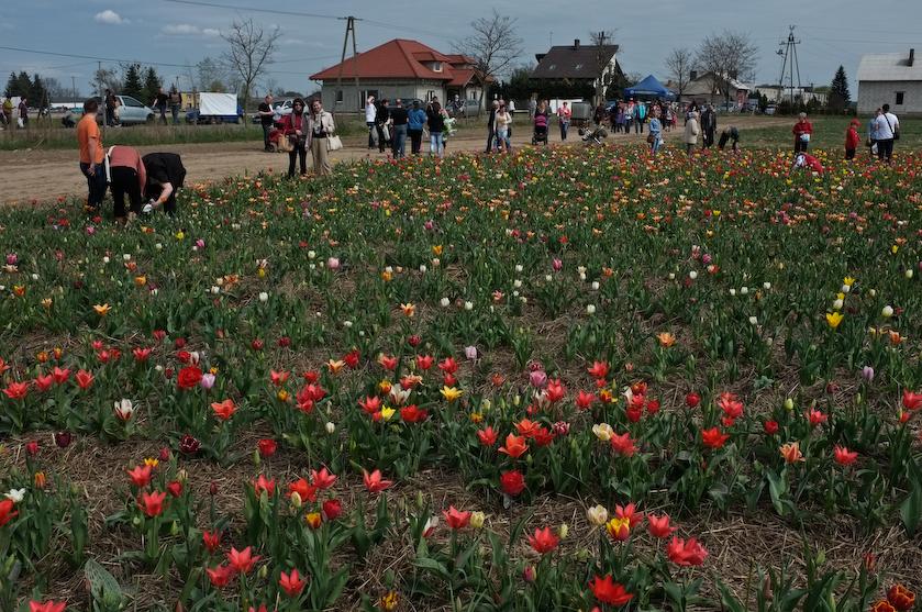 Chrzypsko tulipany (6 z 7)
