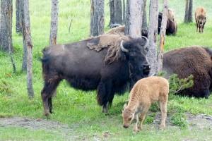 bison-142165_640