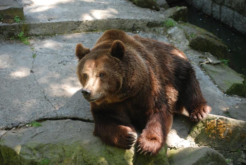 Niedźwiedz_brunatny