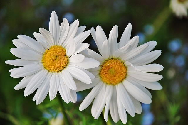 daisy-50159_640