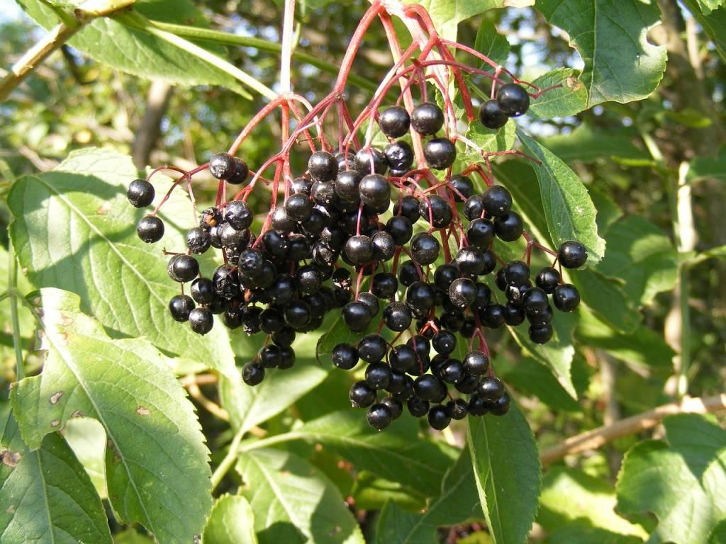 Kuchnia dawnych Słowian: syrop z kwiatów czarnego bzu