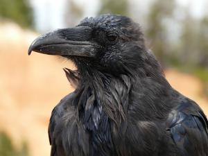 raven-4589_640
