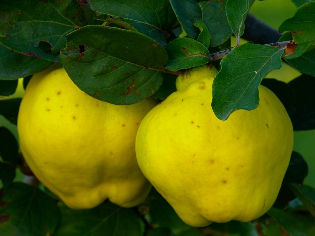 quince-65184_1280