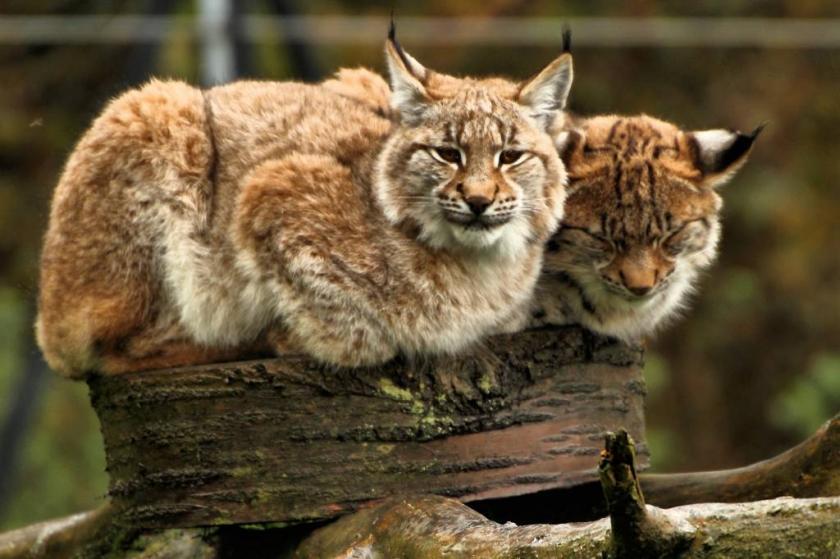 European_Lynx_-_Whipsnade_Zoo_(10774402114)