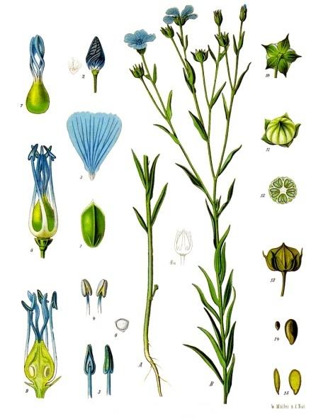 Linum_usitatissimum_-_Köhler–s_Medizinal-Pflanzen-088