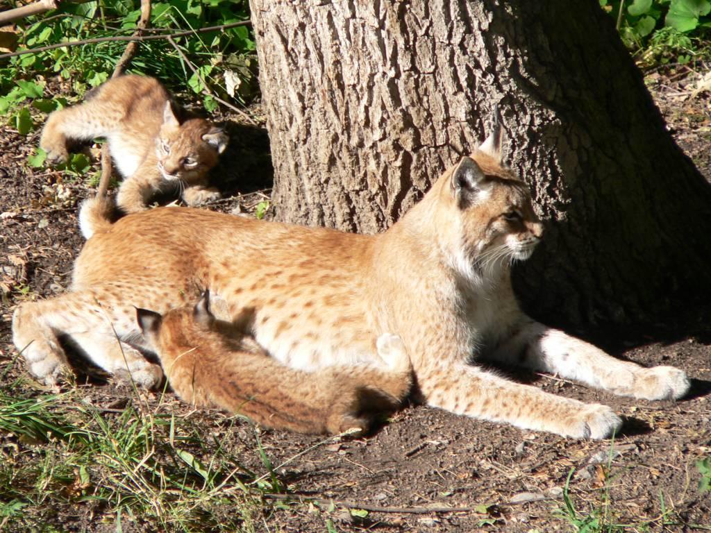 Lynxes_at_Skansen