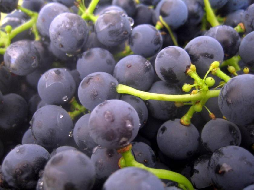 Yeast_on_grapes