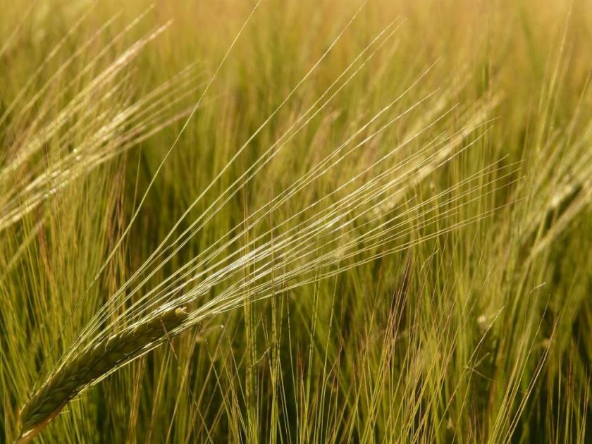 barley-field-8232_1920