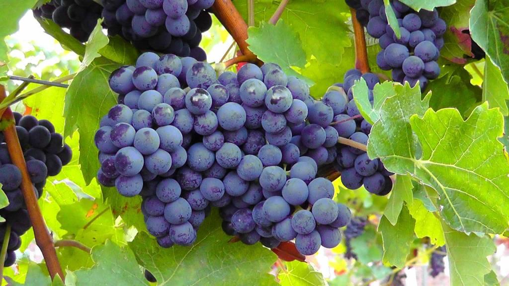 blue-grapes-77376_1920