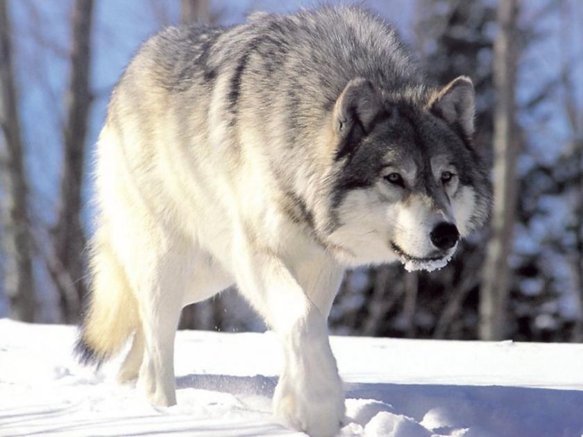 Canis_lupus_265b