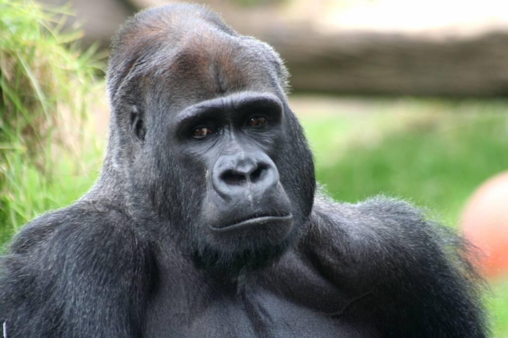 Eyes_of_gorilla