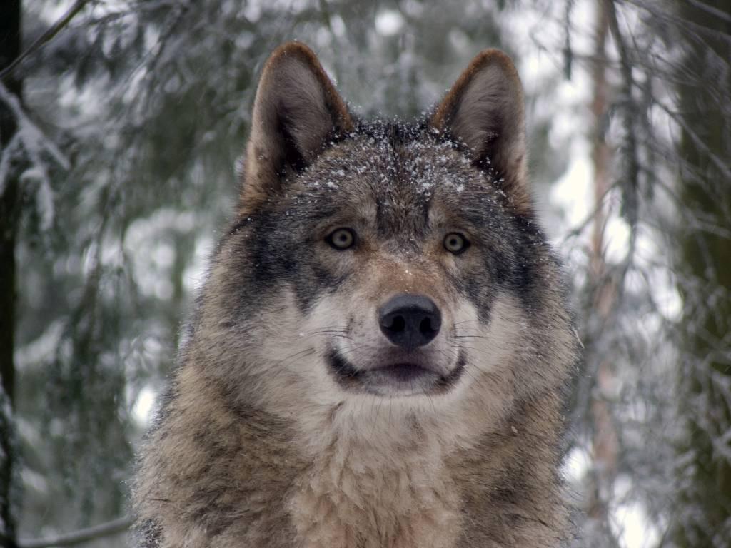 Grey_wolf_P1130270