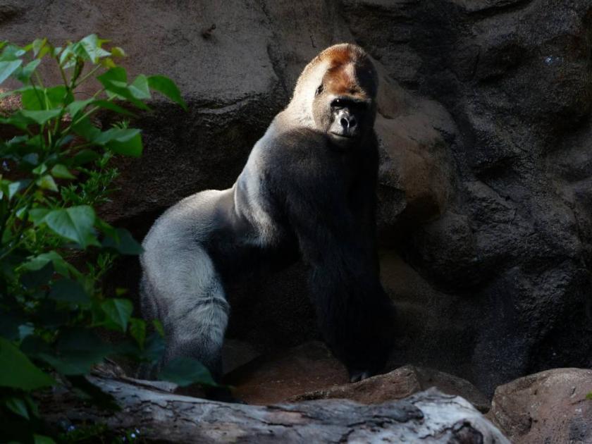 gorilla-406528_1280