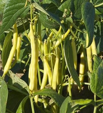 yellow-beans