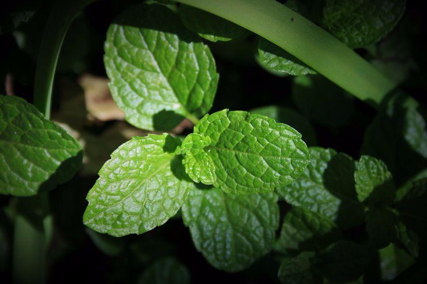 green-mint-346239_1280