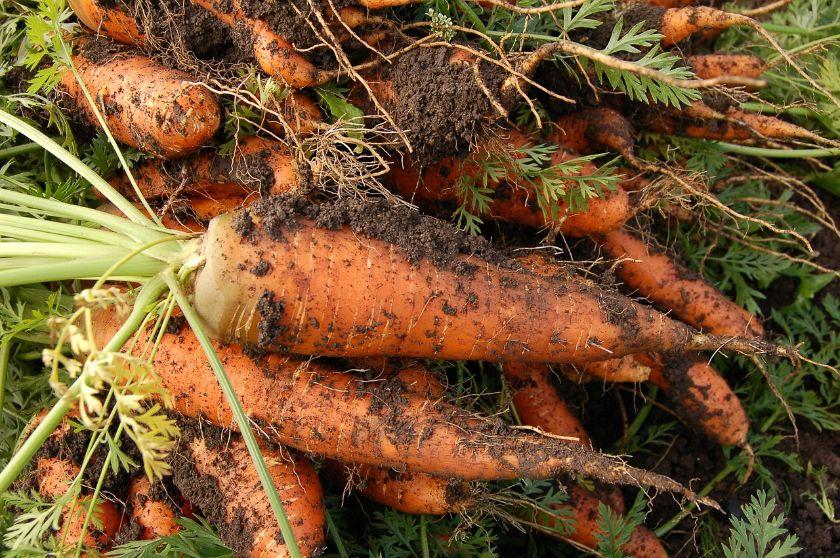 Zdrowe marchewki