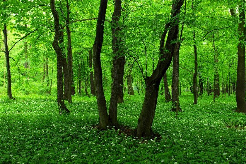 Uroczysko Zielona - Dąbrowa Górnicza; Allium ursinum - Czosnek niedźwiedzi