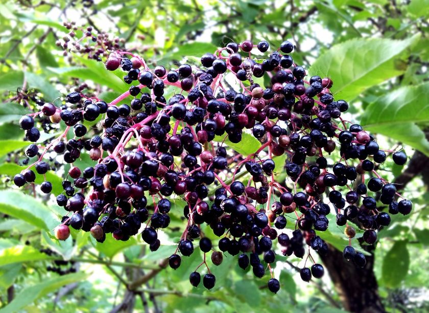 dżem z czarnego bzu, źródło: pixabay.com