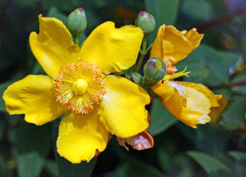 Kwiat dziurawca, piękny i żółty, na łące