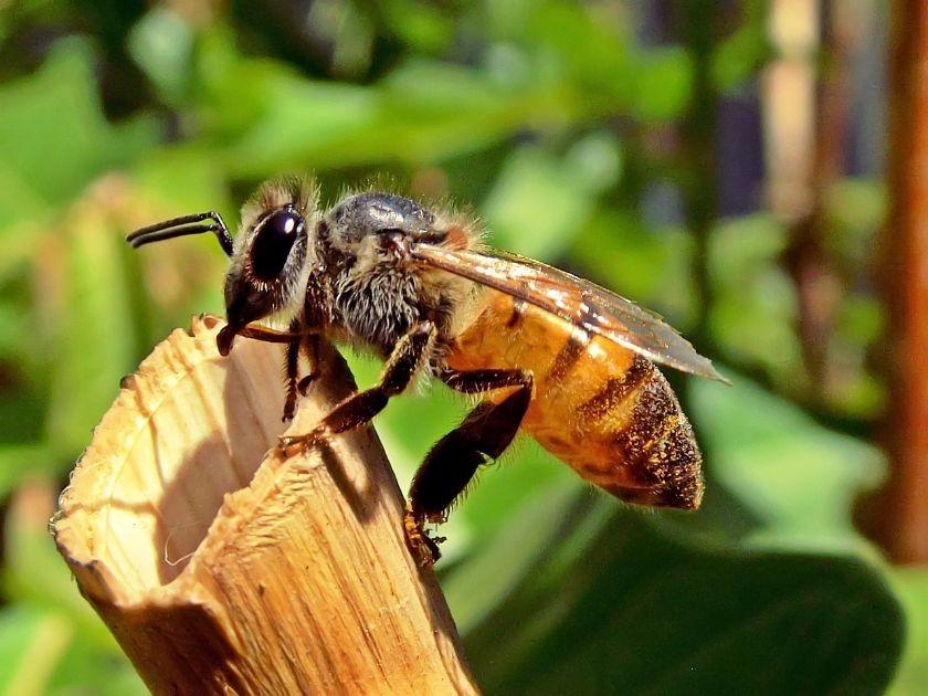 pszczoła zbiera pyłek kwiatowy, źródło: pixabay.com