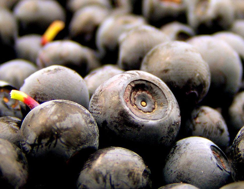 borówka czarna, źródło: wikimedia.org