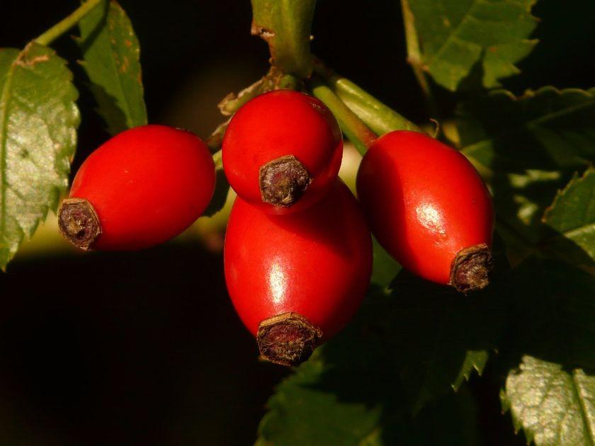 dzikia róża, źródło pixabay.com